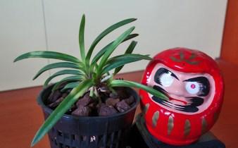 Setsuzan con bambola Daruma