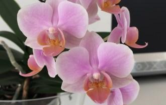 Phalenopsis fiori