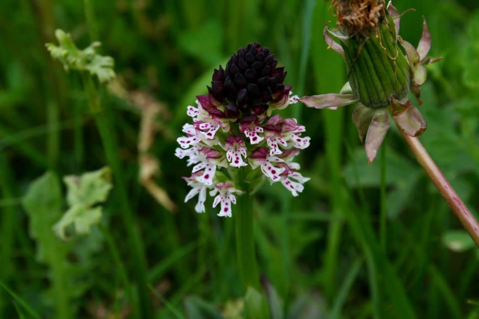 Tempo di orchidee spontanee! (parte II)