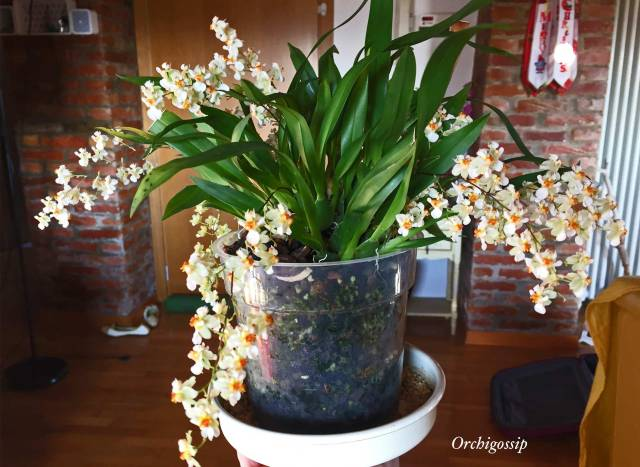 oncidium twinkle piena fioritura