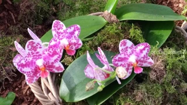 Mostra internazionale di orchidee, Vienna 2020