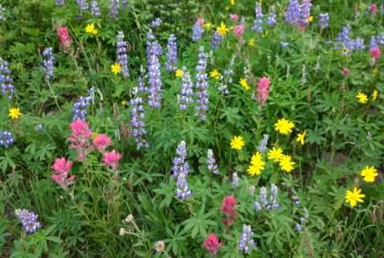 Mt Rainier Wildflower meadow Naches Peak loop