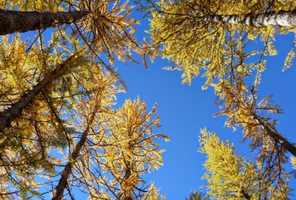 Golden Larches in headlight basin on the Lake Ingalls Trail in fall