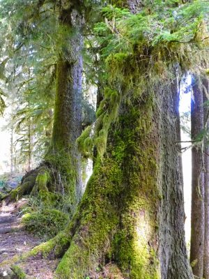 Tall old growth trees covered in moss along a trail