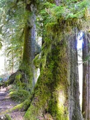 Several large trees next to a trail with moss on their trunks