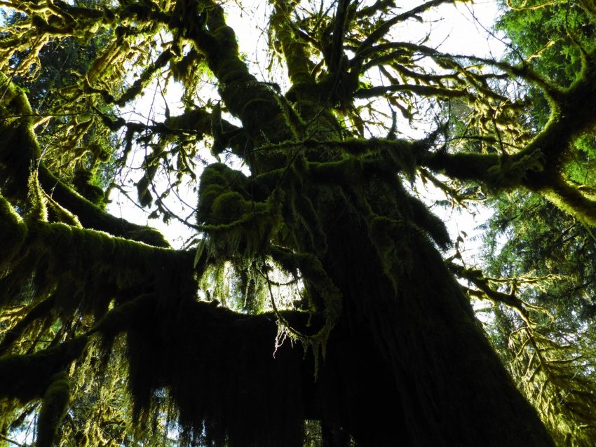 Large tree covered in moss in a rainforest