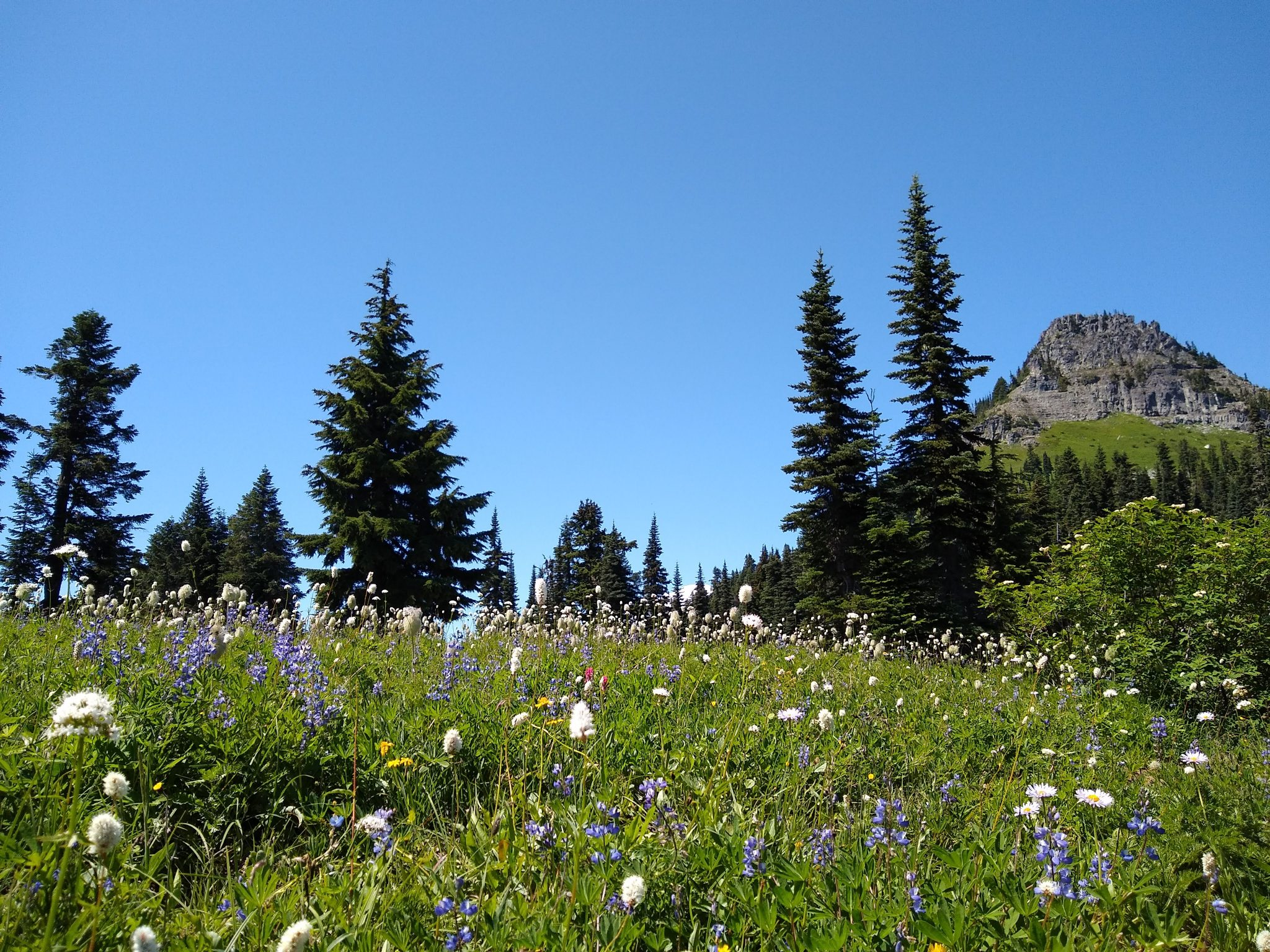 Mt Rainier wildflower hikes with wildflowers in the foreground and evergreen trees in the background against a blue sky