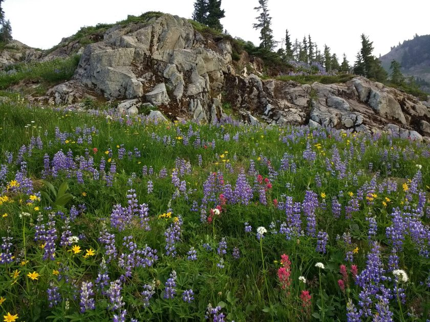 Naches loop trail hike in Mt Rainier National Park has many fields of wildflowers. Here there are purple, pink, yellow and white wildflowers and in the background a rocky cliff with evergreen trees on it.