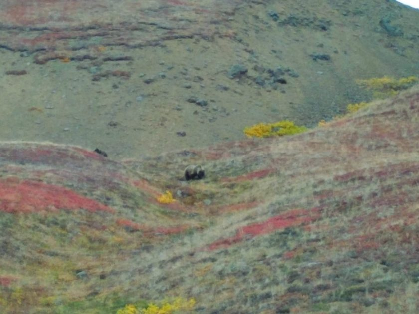 A highlight of driving during the Denali road lottery is the wildlife! Here we see a hill with yellow and red bushes in the fall and a grizzly bear mother browsing for the last of her berries. Her cub is behind her on the left