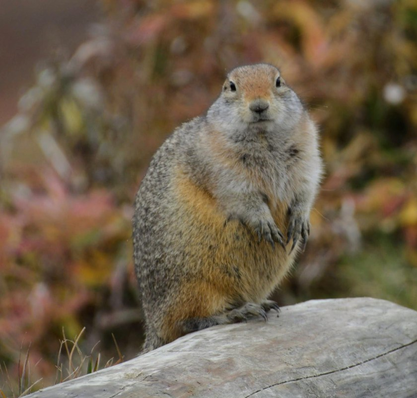 An arctic ground squirrel sitting on a log in Denali National Park. The ground squirrel is gray and brown and fat to be ready for winter! It is looking directly at the camera