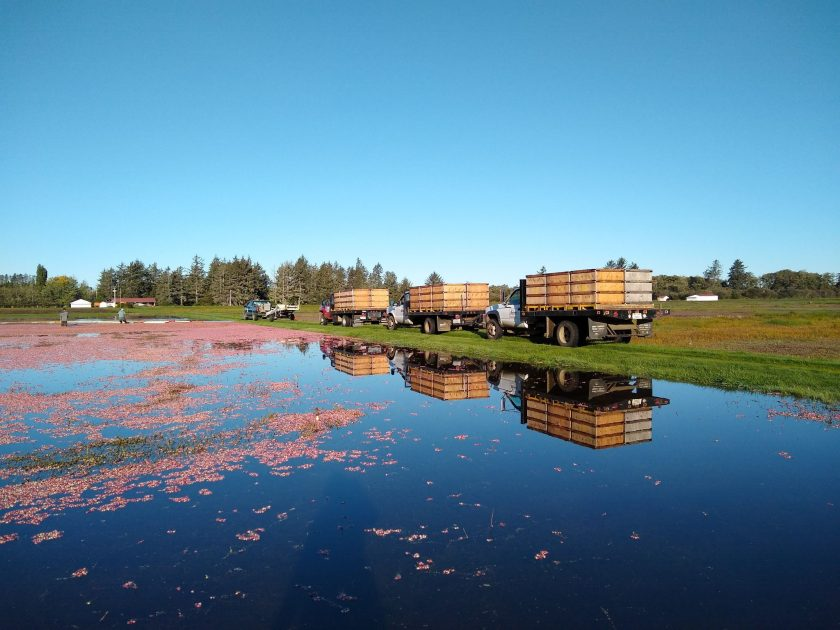 Flooded Washington cranberry bog being harvested. Cranberries are floating on the surface of the water and three large farm trucks are parked next to it