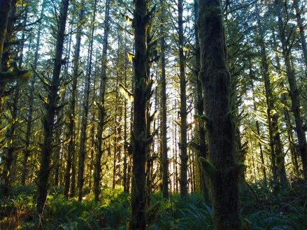 A forest with moss covering many of the trees. The early morning sun is filtering through the forest.