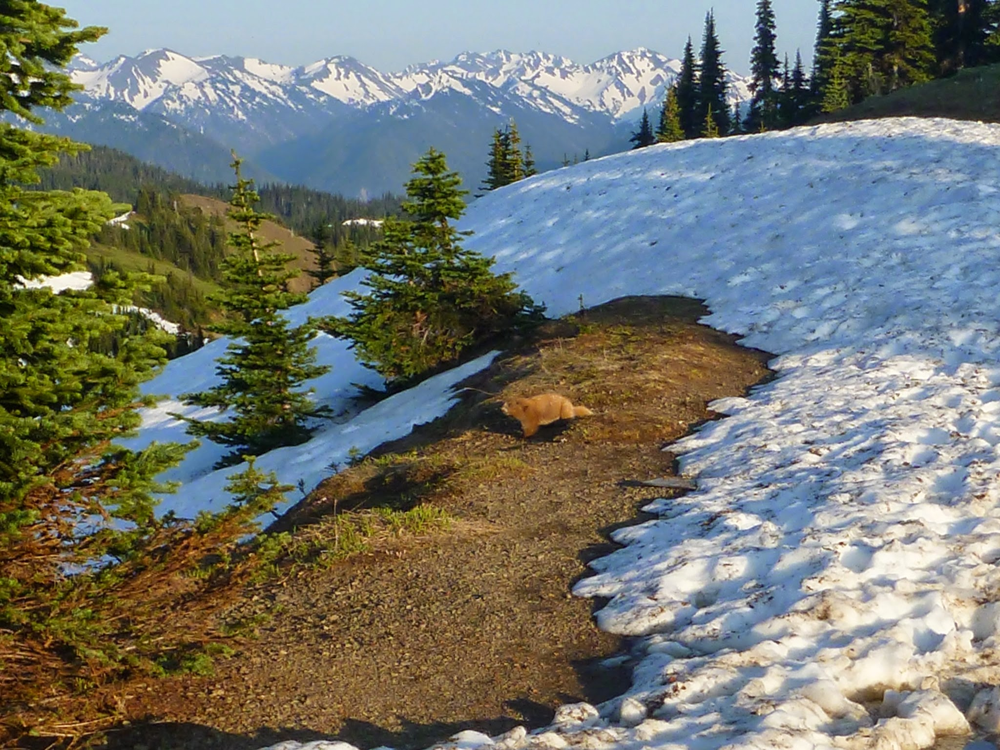 Hurricane Ridge is a good activity for a weekend in Port Angeles any time of year. Here in early summer the deep snow is melting and an Olympic Marmot can be seen exploring. There are high snowcapped mountains in the distance and evergreen trees