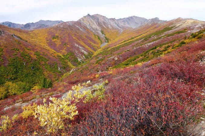 Bright fall colors in red, orange and yellow in the bushes and shrubs on a hillside in Denali National Park in September.