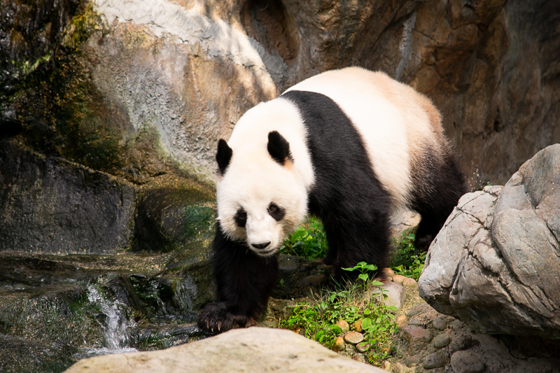 pandas in ocean park