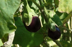 Really cute, tiny eggplants that we saw in the town of Diafani.