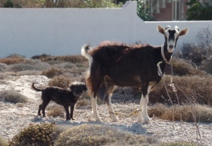Goat leading dog, or dog herding goat?  Either way, they seemed to know where they were going...