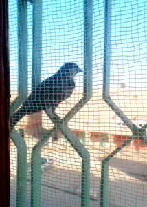 Our windows are reflective, so when birds perch on the grating we can watch them super close up!  So fun!