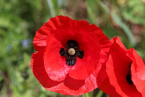 Red Field Poppy