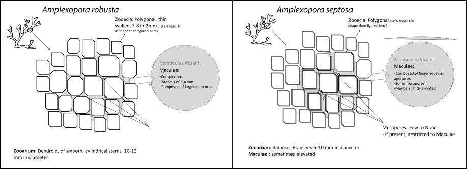 Amplexopora