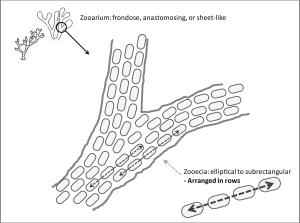 Stictopora_diagram2