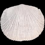 Plaesiomys_250pxB