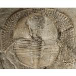 Cryptolithus_tesselatus_250pxW