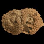 Lichenocrinus_tuberculatus_250pxB