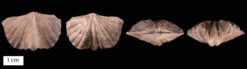 Image result for vinlandostrophia