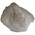 Cleionychia miseneri 250 white