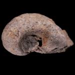 salpingostoma richmondensis 250 black