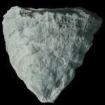 glyptocrinus fornshelli 250 black