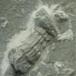 Palaeophycus_250px