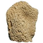 heterospongia subramosa 250 white