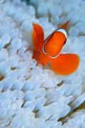 anemone-pesce-pagliaccio-acquario-sfondo