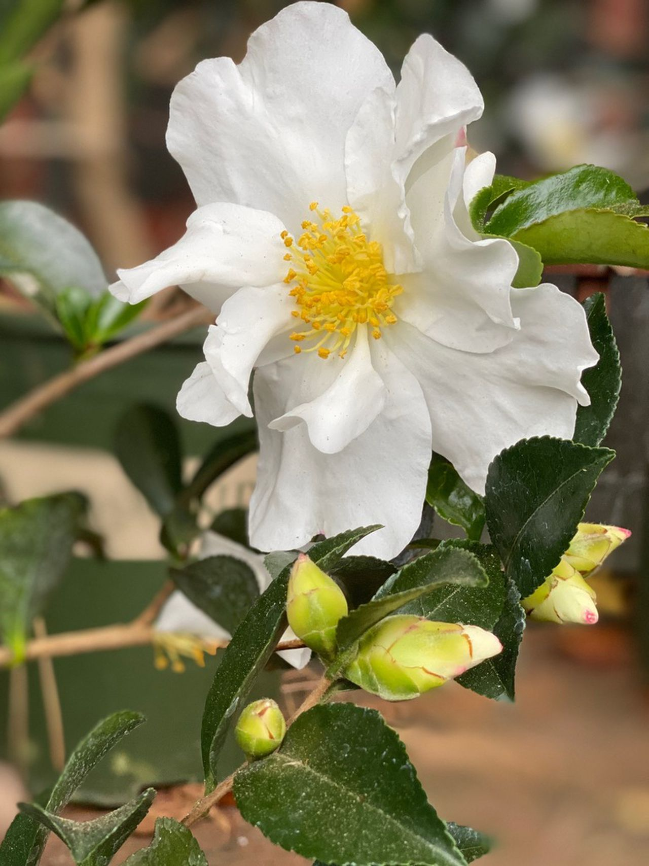 These Sweet Smelling Winter Shrubs Chase Away The January Blues