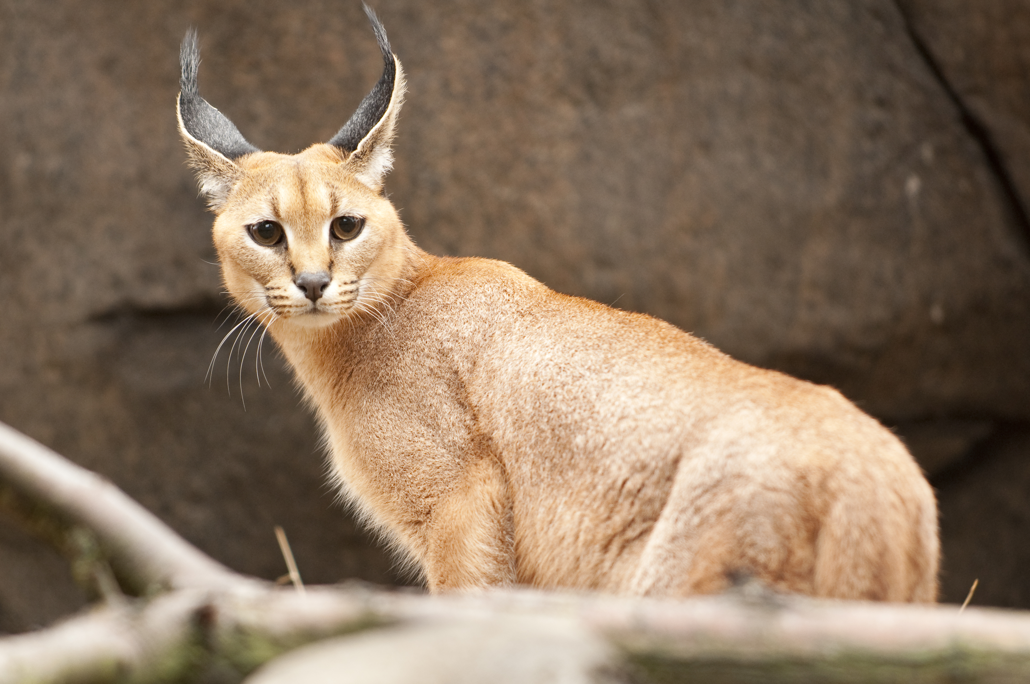 https://i2.wp.com/www.oregonzoo.org/sites/default/files/gallery/images/H_orig_caracal_closeup_gal.jpg
