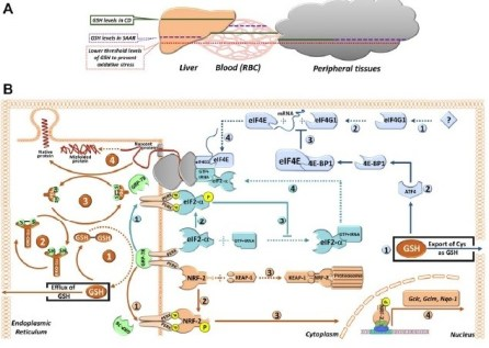 Sulfur amino acid restriction–induced changes in redox