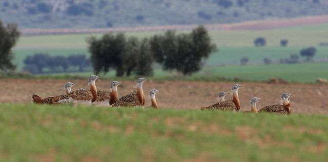 Great Bustards (Otis tarda)