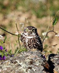 A Little Owl of the Steppe and Dehesa