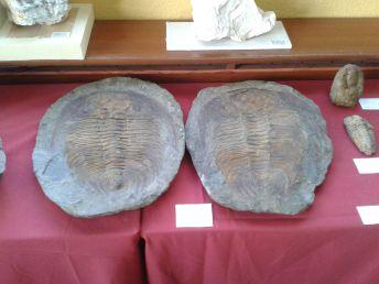 Large Trilobyte fossils