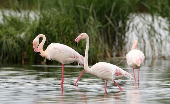 Greater Flamingo (Pheonicopterus ruber)
