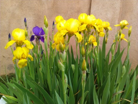 Irises -- Spring Cleaning Outdoors