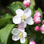 Crab Apple (Manzano silvestre)
