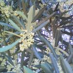 Olive (Olivo)