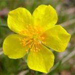 Rock Rose (Heliantemo)