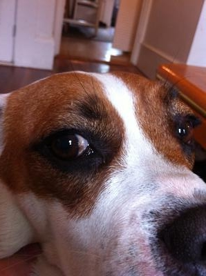 Brown Spot on Dog's Sclera (Eye) - Organic Pet Digest