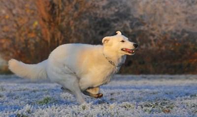 swiss-shepherd-dog-354536_960_720