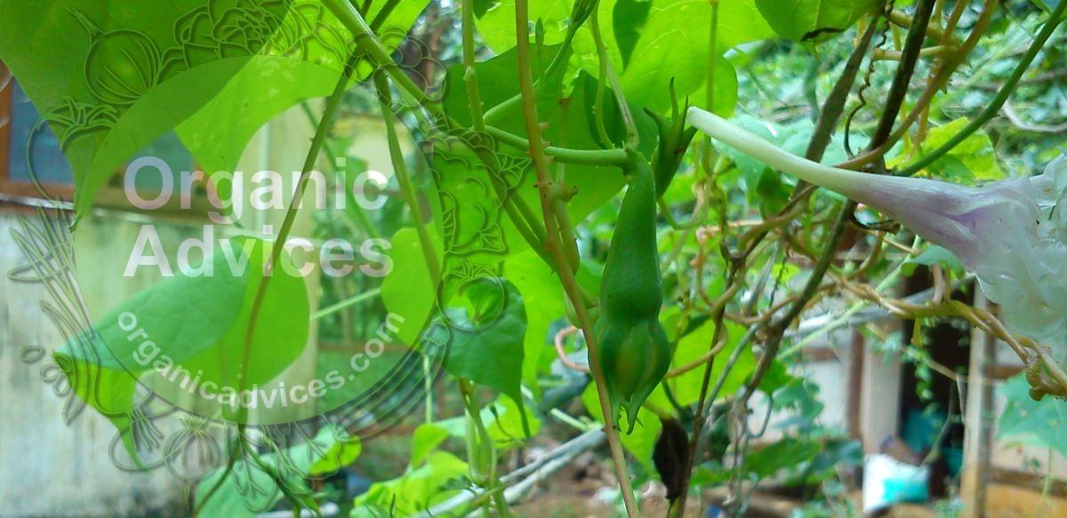 Nithya Vazhuthana (Clove Beans) - Cultivation Details