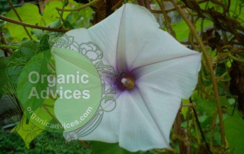Clove Beans Flower